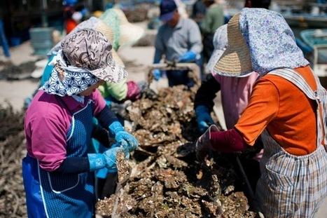 Les ostréiculteurs de Miyagi veulent survivre après Fukushima | La-Croix.com | Japon : séisme, tsunami & conséquences | Scoop.it