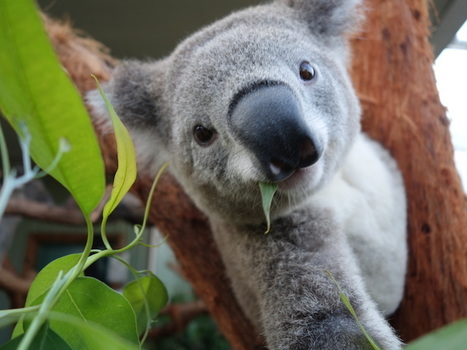 """Hundreds of koalas killed in Australia (""""poor animal; not enough nature to feed them - euthanized!"""")   Earth Citizens Perspective   Scoop.it"""