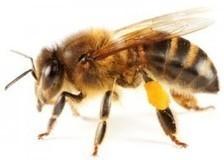 Ségolène et les abeilles   Le monde des abeilles   Scoop.it