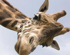 Alarm over sharp decline in African giraffe numbers | Kruger & African Wildlife | Scoop.it