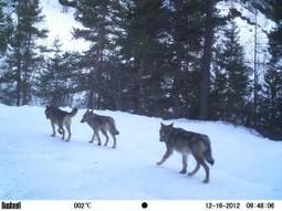Photos de loups dans les Alpes françaises | FERUS | ¨¨Qui est le plus sauvage?¨¨ | Scoop.it