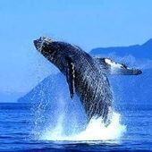 Sightings of blue whales in the south of Chile has grown significantly | In Deep Water | Scoop.it