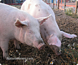 Big Ag's factory farming solution to its own pollution: GMO 'Enviropigs' | GMOs & FOOD, WATER & SOIL MATTERS | Scoop.it