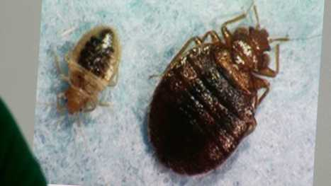 Study: Bed bugs are drawn to certain colors | CALS in the News | Scoop.it