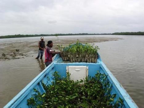 L'Equateur met un frein à la dévastation des mangroves provoquée depuis 40 ans par les élevages de crevettes | Mangroves | Scoop.it
