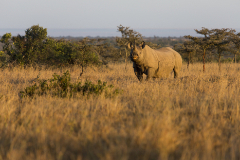 Mother and calf rhino killed at black rhino sanctuary, Ol Pejeta | Garry Rogers Nature Conservation News | Scoop.it