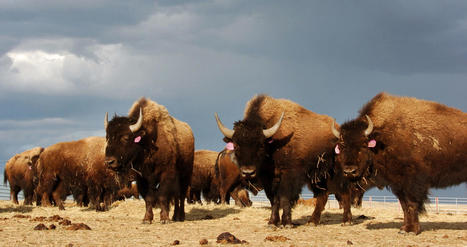 Obama signs legislation designating bison as national mammal | The Williston Scoop | Scoop.it