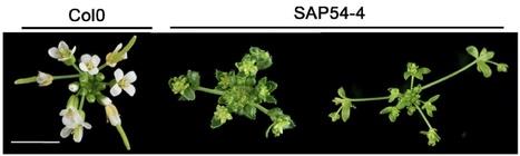 Plant Physiology: Phytoplasma effector SAP54 induces indeterminate leaf-like flower development in Arabidopsis plants | plant developments | Scoop.it