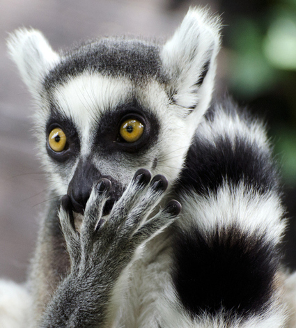 Google Zebra Update? No. What About Ringtailed Lemur? | Real SEO | Scoop.it