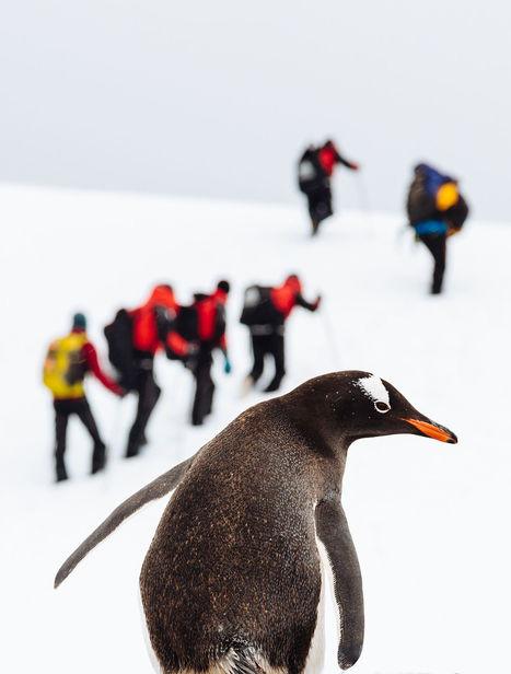 Gentoo Penguin byAndrew Peacock   My Photo   Scoop.it