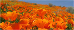 Benefits of California Poppy for Relaxation - Alcohol Alternatives   Relax   Scoop.it