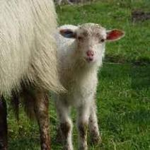 How to take care of lambs | About Pets, Lifestock and Wild Animals | Scoop.it