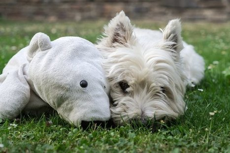 Tweet from @DrBicentenario | West Highland White Terrier | Scoop.it