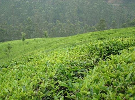 Climate Change Altering Taste, Aroma and Health Benefits of Tea, Study | Magick Recipes | Scoop.it