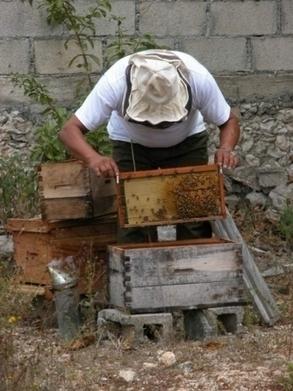 México/ Yucatán/Introduccion de cultivos transgenicos, ruina economica de apicultores - | MOVUS | Scoop.it