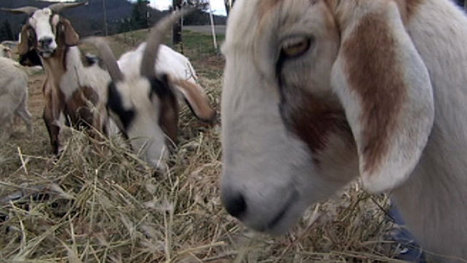 Goats being used to cut back on kudzu | North Carolina Agriculture | Scoop.it