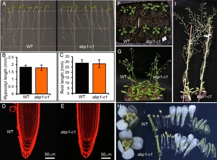 Auxin binding protein 1 (ABP1) is not required for either auxin signaling or Arabidopsis development | plant molecular biology | Scoop.it