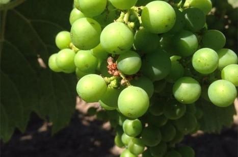 Bordeaux 2015: White #wine harvest to start next week | Vitabella Wine Daily Gossip | Scoop.it