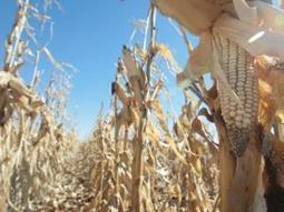 South Africa: 'More maize fortification tests needed' | MAIZE | Scoop.it