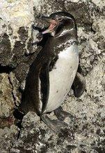 Galapagos penguin | galapagos penguin | Scoop.it
