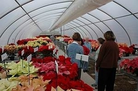 The Season For Poinsettias | WUNC-FM | North Carolina Agriculture | Scoop.it