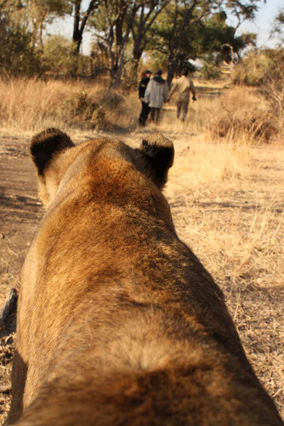 Is walking with lions good conservation? Probably not. | Africa Geographic Magazine Blog | safarious | Scoop.it