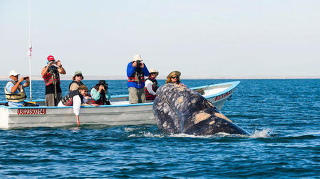 In San Ignacio Lagoon, Mexico, the whales are so close you could kiss them — or at least try   Baja California   Scoop.it