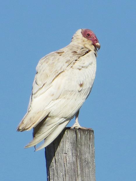 Leucistic Turkey Vulture » Powered by Birds | Vulture Love | Scoop.it