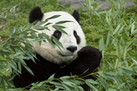 Half of Giant Panda Habitat May Vanish in 70 Years, Scientists Say | Climate change challenges | Scoop.it
