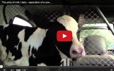 Breaking the Mother-Calf Bond: The Untold Story of Milk | Nature Animals humankind | Scoop.it