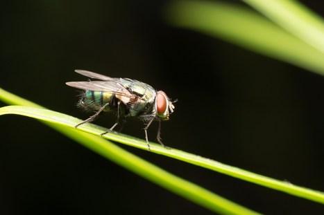 Flies live 30 percent longer when AMPK is activated | Amazing Science | Scoop.it