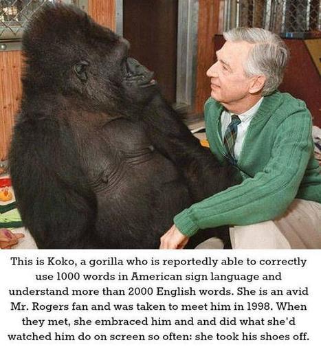 Koko the Gorilla meets Mr. Rogers   Potpourri   Scoop.it