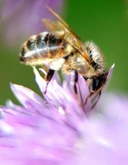 Diésel y perfume de flores, un cóctel insípido para las abejas - Los Tiempos | Autosostenibilidad en el mundo | Scoop.it