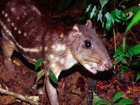 Royal Rat – A Vexing Meal? Kriol, the language of Belize | Belize in Social Media | Scoop.it