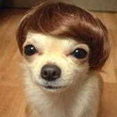 Small dog with toupee | Cute Doggs | Atlanta Dog Spa | Scoop.it
