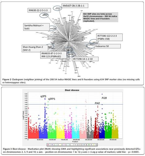 Multi-parent advanced generation inter-cross (MAGIC) populations in rice: progress and potential for genetics research and breeding | Plant multi-parent advanced generation intercross (MAGIC) populations | Scoop.it