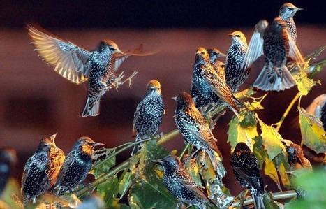 Comment les oiseaux apprennent-ils à chanter - leJDD.fr | Les sons de la nature | Scoop.it