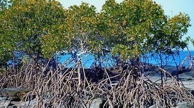 Mangroves » ainsi que la coupe… sont interdites - Haitinews2000 | Mangroves | Scoop.it