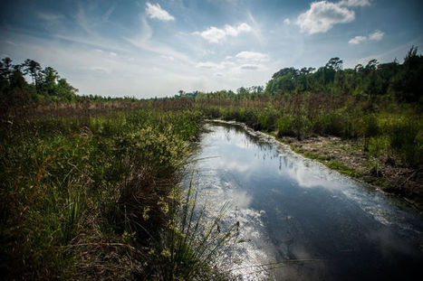Wetlands at Carvers Creek State Park home to wildlife, fish - Fayetteville Observer | Fish Habitat | Scoop.it
