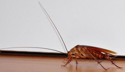 Even cockroaches have individual personalities that impact group dynamics | Amazing Science | Scoop.it
