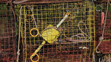Chesapeake blue crab population grows 35 percent; DNR predicts 'robust' season | Suburban Land Trusts | Scoop.it
