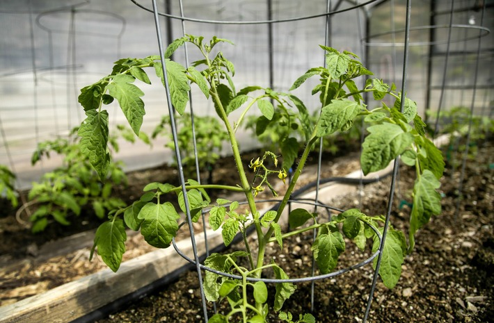 Tomato MD identifies what's ailing your plant | Garden apps for mobile devices | Scoop.it