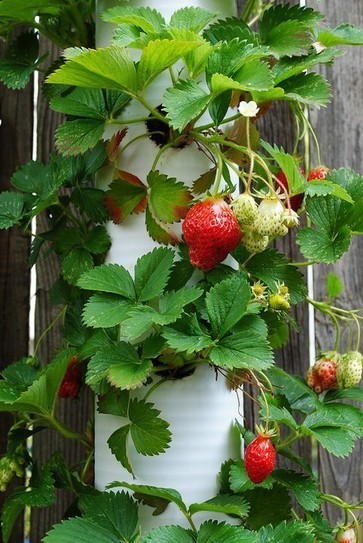 PVC Pipe Strawberry Planter | Upcycled Garden Style | Scoop.it