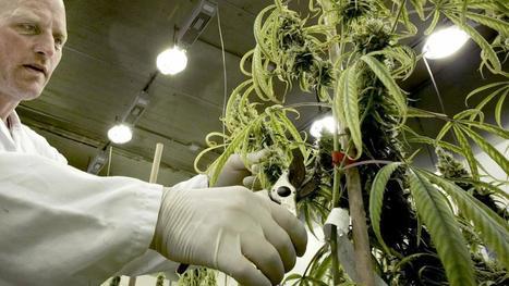 VNG wil experimenteren met gereguleerde wietteelt | Medicinale-cannabis | Scoop.it