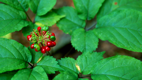 Ginseng Digging: Local Traditions and Global Markets for Appalachia's Medicinal Plants | Erba Volant - Applied Plant Science | Scoop.it