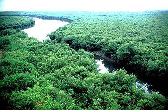 Mangrove in India | climate change | Scoop.it
