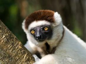 Deux nouvelles espèces de lémuriens découvertes à Madagascar | Knowledge Management | Scoop.it