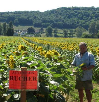 Un agriculteur associe abeilles et tournesol pour des semences naturelles   694028   Scoop.it