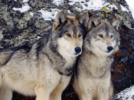 Montana Issues 6,000 Hunting Permits For Its 625 Remaining Wolves, Fee Just $19 Per Permit | Animals R Us | Scoop.it
