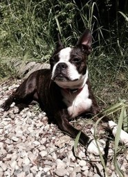 Enjoying the Sun while Camping! - Uma from St. Albert, Alberta, Canada (Photo) | Boston Terrier Dogs | Scoop.it